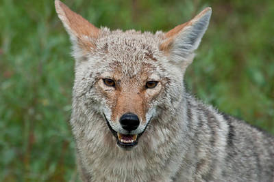 Coyote Photograph - Coyote In Banff Canada by Natural Focal Point Photography