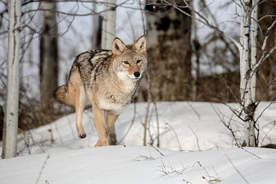 Photograph - Coyote In Motion by Jack Bell