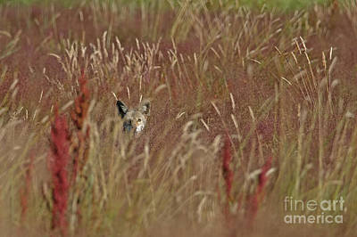 Coyote In The Grass Art Print