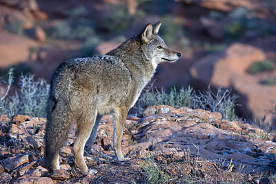 Photograph - Coyote In The Southwest Us by Kathleen Reeder Wildlife Photography