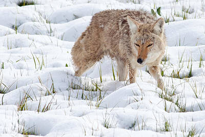 Coyote Photograph - Coyote In Yellowstone by Natural Focal Point Photography