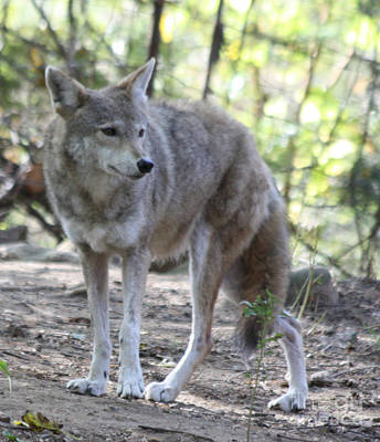 Photograph - Coyote by John Telfer