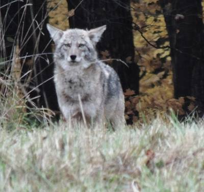 Photograph - Coyote Number Four by Todd Sherlock