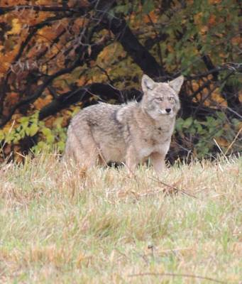 Photograph - Coyote Number Three by Todd Sherlock