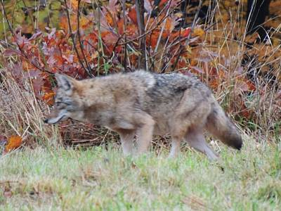 Photograph - Coyote Number Two by Todd Sherlock