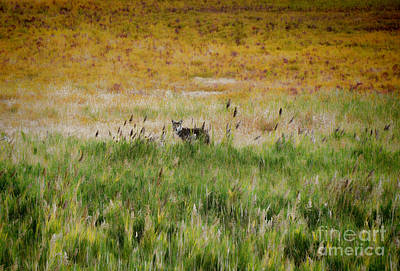 Photograph - Coyote Of Antelope Island by Donna Greene