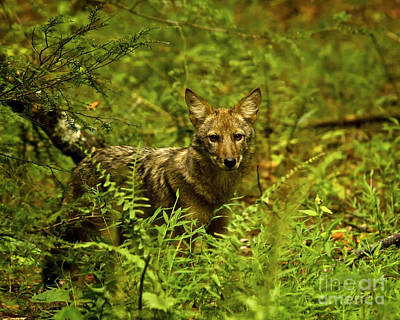 Coyote Of The Woods Art Print