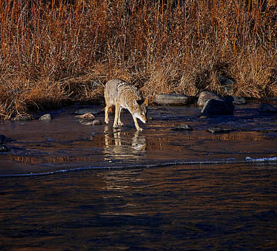 Photograph - Coyote On Ice by Britt Runyon