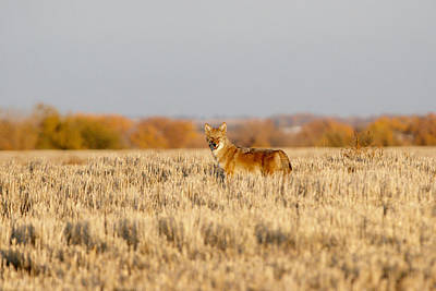 Art Print featuring the photograph Coyote On The Hunt by Shirley Heier