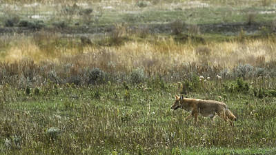 Photograph - Coyote On The Prowl No. 2 - Yelllowstone by Belinda Greb