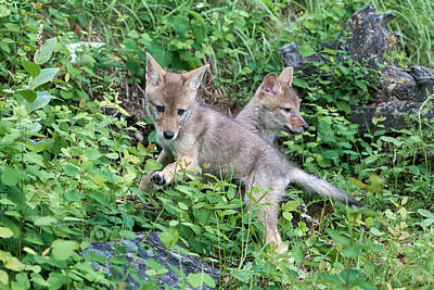 Photograph - Coyote Pups At Play by Jack Bell