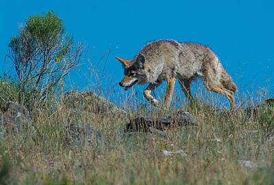 Photograph - Coyote Stalking Its Prey by Michael Gooch