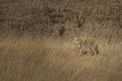 Coyote Standing In Field Of Dried Art Print by Roberta Murray