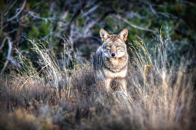 Wild Dogs Photograph - Coyote Stare Down by Ryan Smith