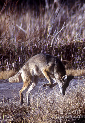 Photograph - Coyote by Steven Ralser