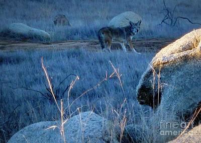 Photograph - Coyote Wild by Susan Garren