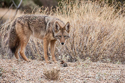Photograph - Coyote With Prey by Marianne Jensen