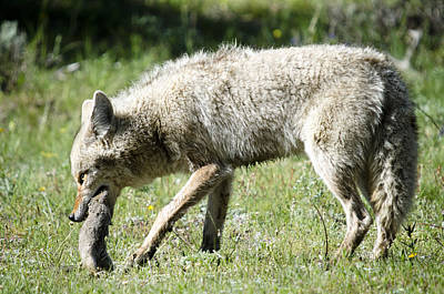 Photograph - Coyote With Squirrel by Crystal Wightman
