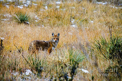 Recently Sold - Steven Krull Royalty-Free and Rights-Managed Images - Coyotes by Steven Krull
