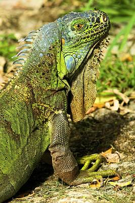 Photograph - Cozumel Green Iguana by Adam Jewell
