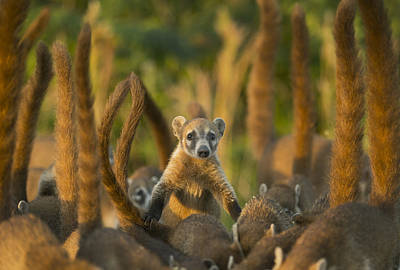 Front View Photograph - Cozumel Island Coati Cozumel Island by Kevin Schafer