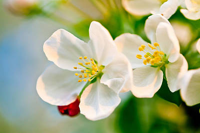 Photograph - Crab Apple Blossoms by Ben Graham