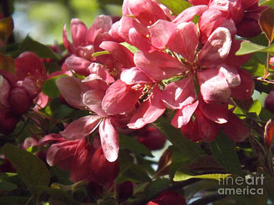 Photograph - Crab Apple Blossoms by Brenda Brown