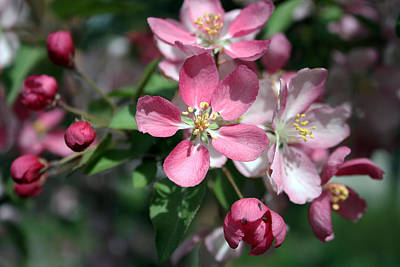 Photograph - Crab Apple Blossoms by Gerry Bates