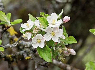 Malus Photograph - Crab Apple (malus Sylvestris) Blossoming by Bob Gibbons