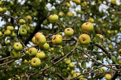 Malus Photograph - Crab Apple (malus Sylvestris) In Fruit by Bob Gibbons