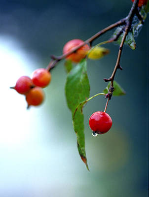 Photograph - Crab Apple by Michael Moschogianis