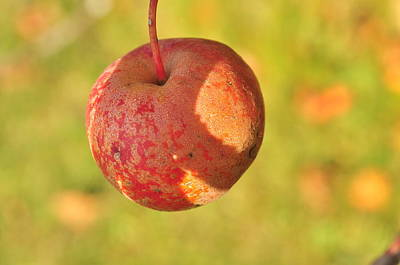 Photograph - Crab Apple  by Puzzles Shum