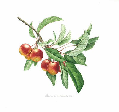 Crab Apple Art Print by Sally Crosthwaite