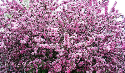 Crab Apple Tree Art Print by Aimee L Maher Photography and Art Visit ALMGallerydotcom
