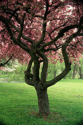 Photograph - Crab Apple Tree Corning  Ny 3 by Roger Soule