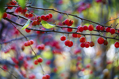 Photograph - Crab Apples 1 by Scott Campbell