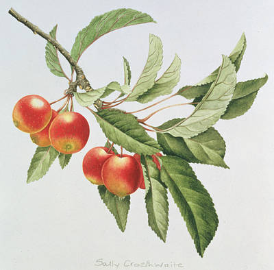 Apple Painting - Crab Apples by Sally Crosthwaite