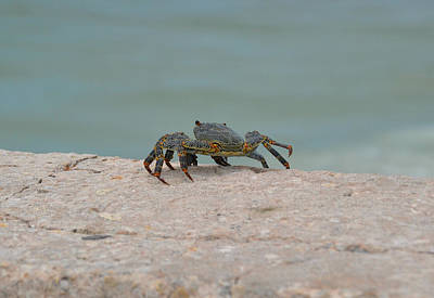 Photograph - Crab At The Beach by Amber Summerow