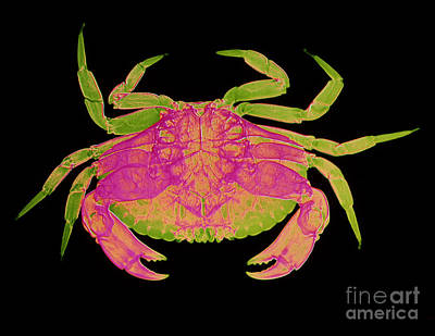 Crab Art Print by D Roberts
