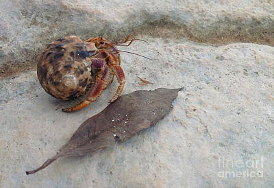 Photograph - Crab In Shell by M Valeriano