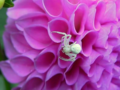 Crab Spider And Dahlia Art Print