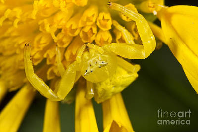 Photograph - Crab Spider by BG Thomson