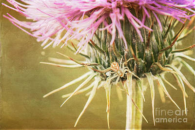 Photograph - Crab Spider On Thistle by Marianne Jensen