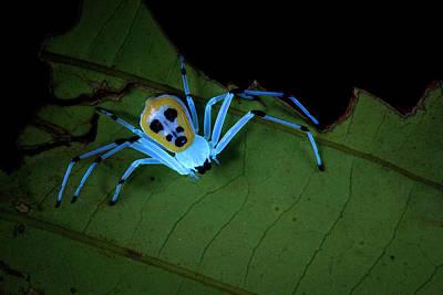 Crab Spider Under Uv Light Art Print by Melvyn Yeo