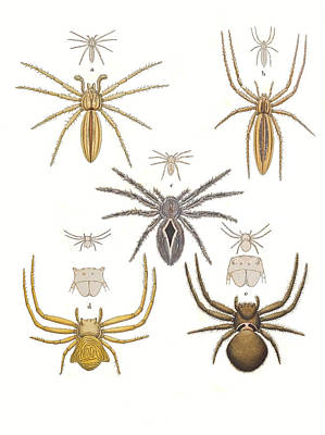 Photograph - Crab Spiders by Biodiversity Heritage Library