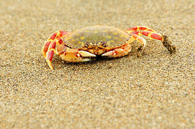 Photograph - Crab Walk by Rebecca Adams