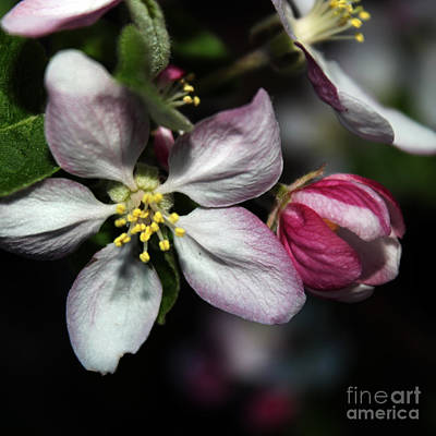 Photograph - Crabapple Blossom by Arizona  Lowe