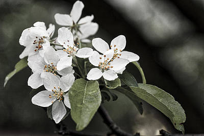 Photograph - Crabapple Blossoms - Arboretum - Madison by Steven Ralser