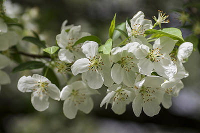 Photograph - Crabapple Blossoms 4 by Wayne Meyer