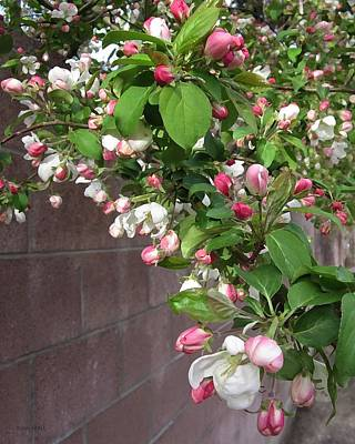 Photograph - Crabapple Blossoms And Wall by Donald S Hall
